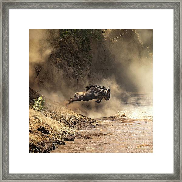 Wildebeest Leaps From The Bank Of The Mara River Framed Print