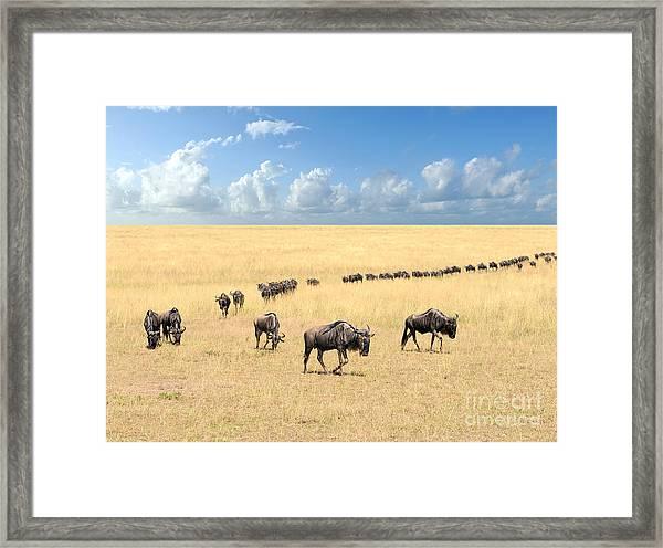 Wildebeest, National Park Of Kenya Framed Print