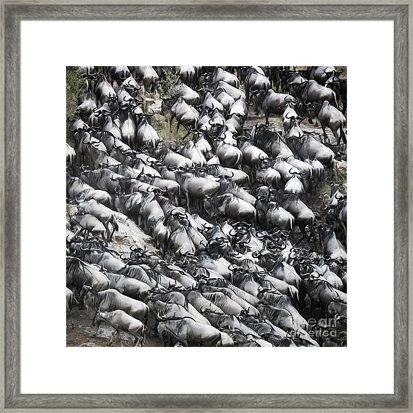 Wildebeest Scramble Out Of The Mara River Framed Print