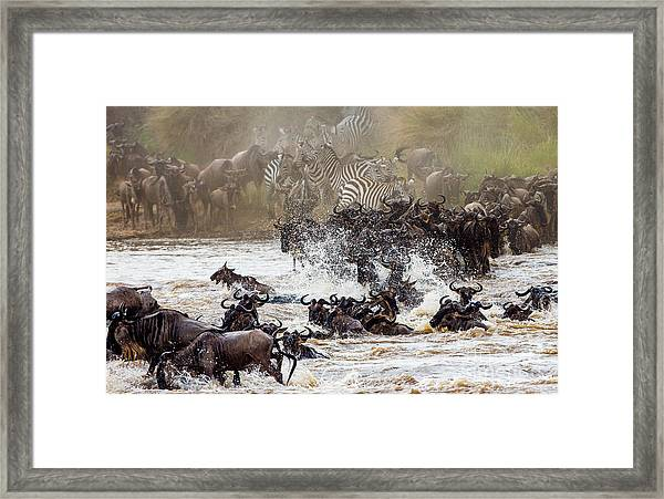 Wildebeests Are Crossing Mara River Framed Print