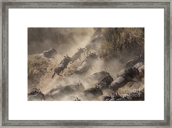 Wildebeests Mara Crossing Framed Print