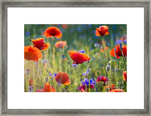 Wildflowers Poppies Framed Print