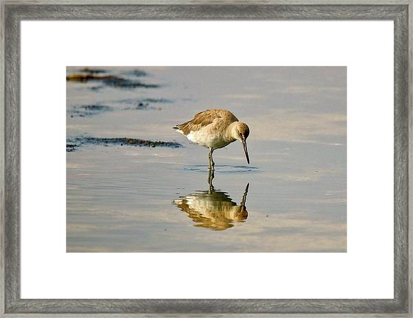 Willet Sees Its Reflection Framed Print