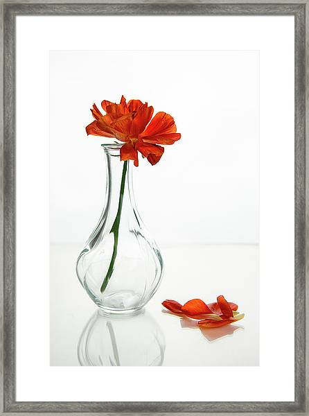 Wilted Gazania Red Flower On A Glass Vase.  Framed Print