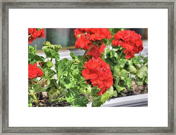 Windowbox Framed Print by JAMART Photography