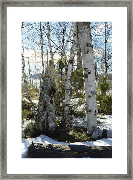 Winter Birch Framed Print
