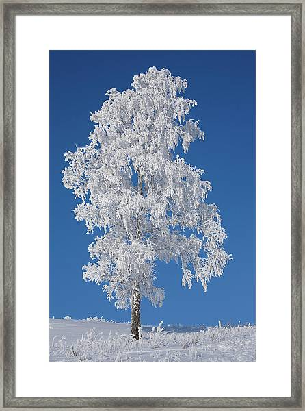 Winter Birch Tree Framed Print