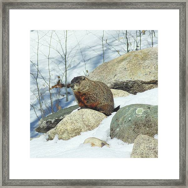 Framed Print featuring the photograph Winter Groundhog by Amy E Fraser