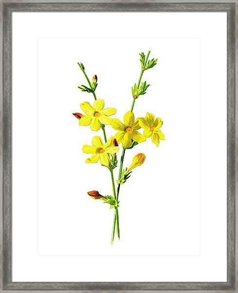 Winter Jasmine Flower Framed Print