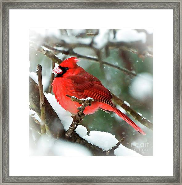 Winter Red Bird - Male Northern Cardinal With A Snow Beak Framed Print