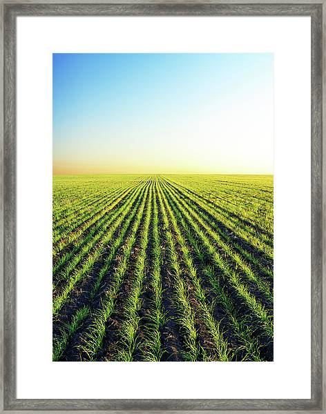 Winter Wheat Patches In Sunset Light Framed Print
