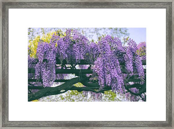 Wisteria Floribunda  Framed Print