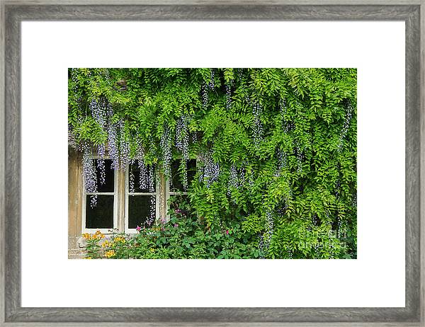 Wisteria Flowering Around A Cotswold Cottage Window Framed Print