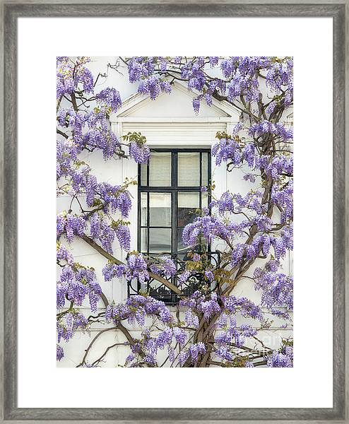 Wisteria In Canning Place Kensington London Framed Print