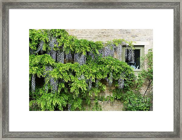 Wisteria On A Cotswold Stone House Framed Print by Tim Gainey