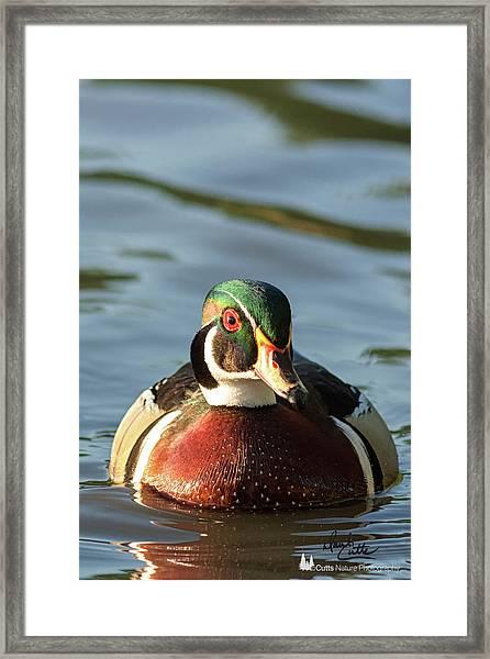 Wood Duck 3 Framed Print