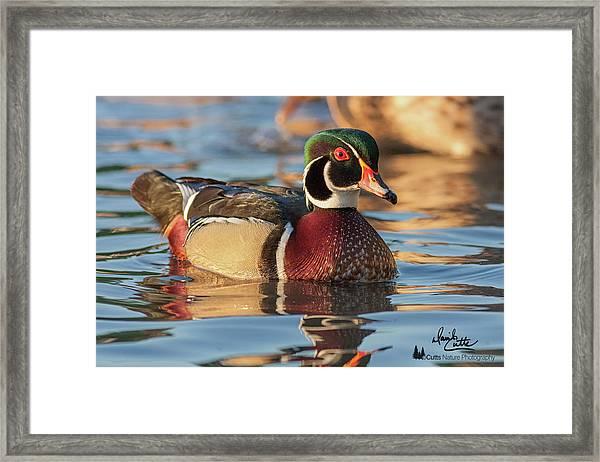 Wood Duck 4 Framed Print