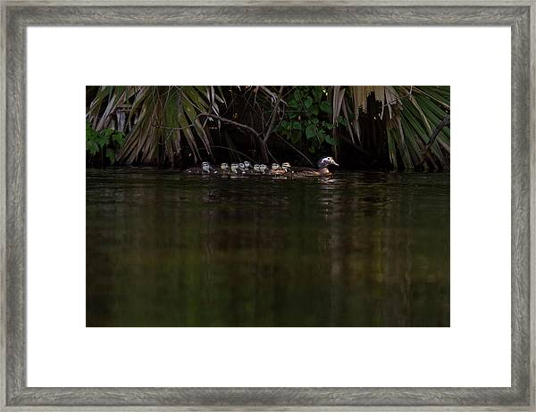 Wood Duck And Ducklings Framed Print