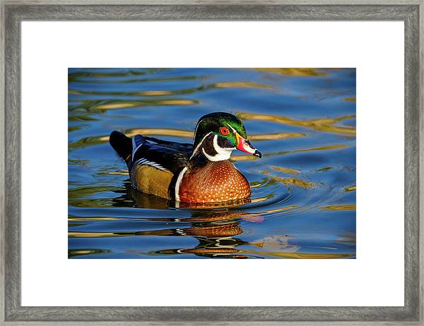 Framed Print featuring the photograph Wood Duck by Nicole Young