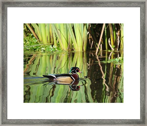 Wood Duck Reflection 1 Framed Print