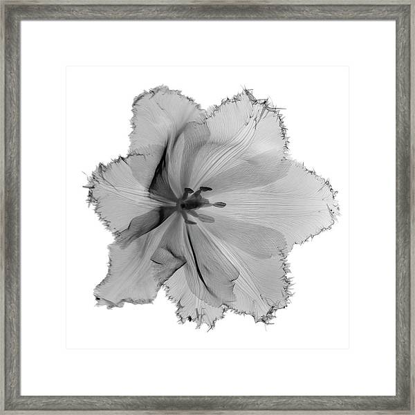 X-ray Image Of Tulip Flower Head On Framed Print