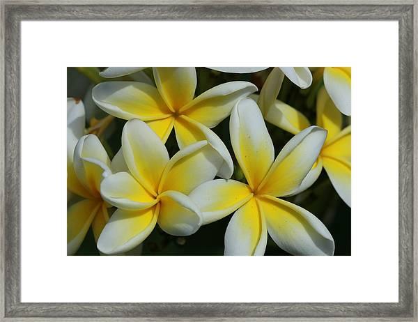 Yellow And White Plumeria On Barbados Framed Print