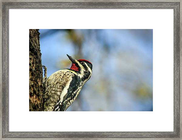 Yellow Bellied Sapsucker Framed Print by By Ken Ilio