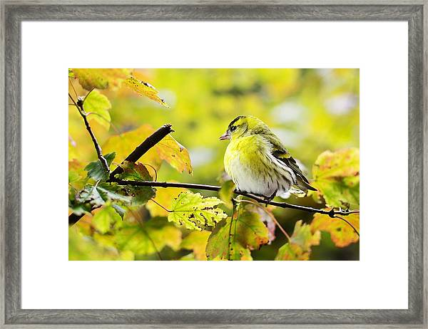 Yellow Bird Framed Print