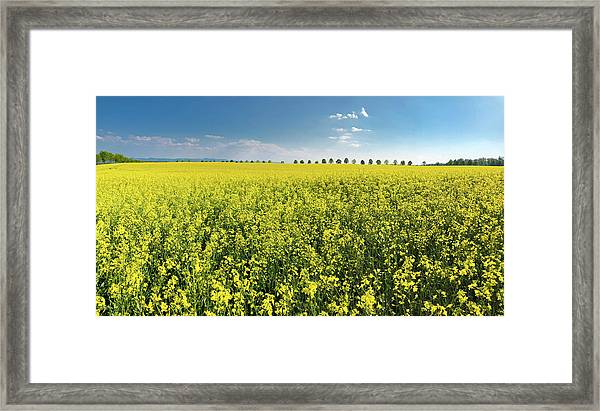Yellow Canola Field And Blue Sky Spring Landscape Framed Print