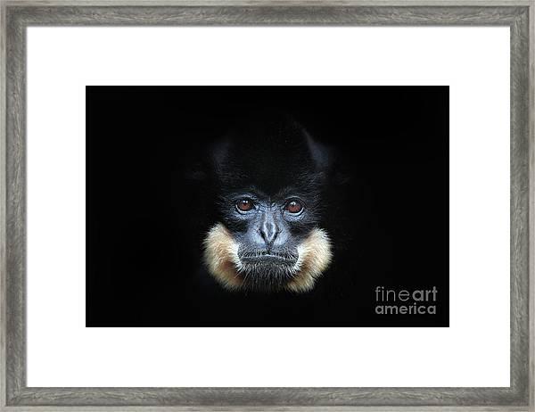 Yellow-cheeked Gibbon, Nomascus Framed Print