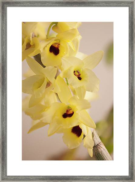 Yellow Dendrobium Nobile In Full Bloom Framed Print by Maria Mosolova