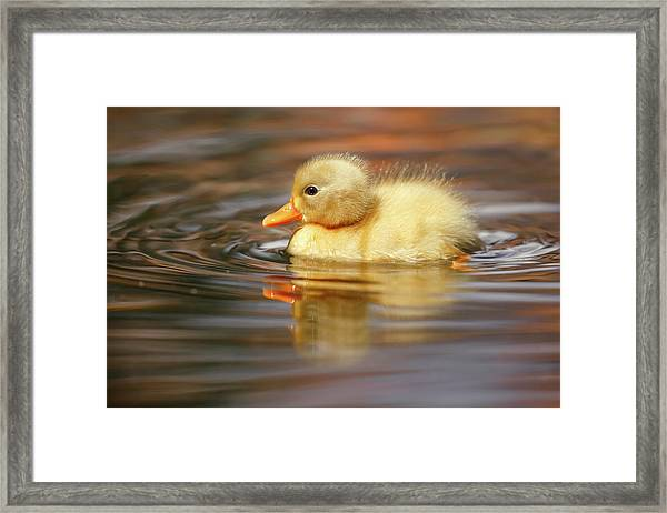 Yellow Duckling Framed Print
