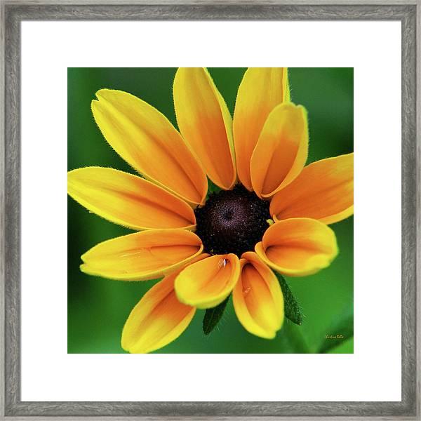 Yellow Flower Black Eyed Susan Framed Print