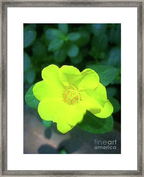 Yellow Hypericum - St Johns Wort Framed Print