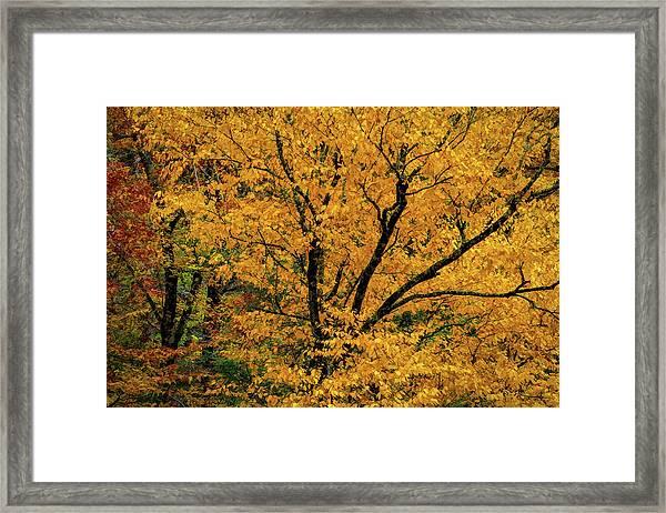 Yellow Tree Leaf Brilliance  Framed Print
