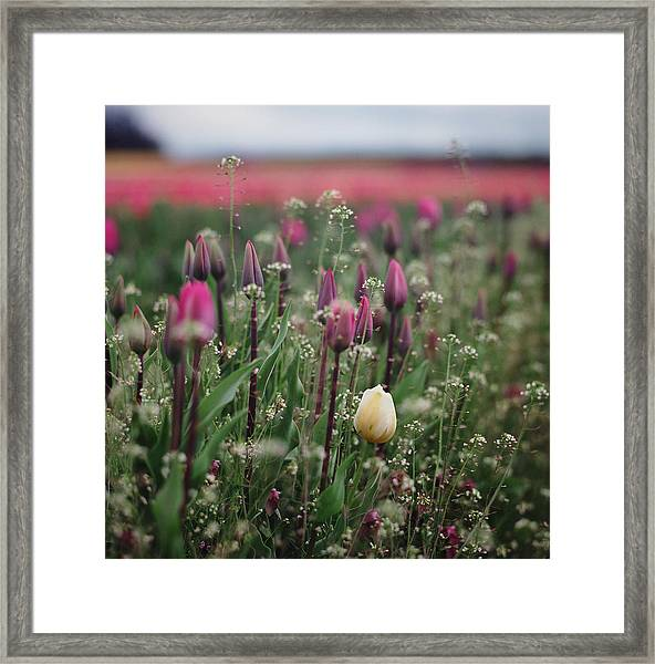 Yellow Tulip In Field Of Purple Tulips Framed Print