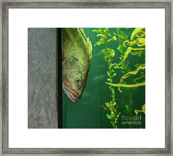 Yellowtail Rockfish Playing Peekaboo Framed Print