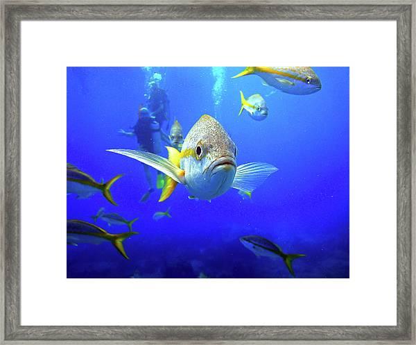 Yellowtails Framed Print