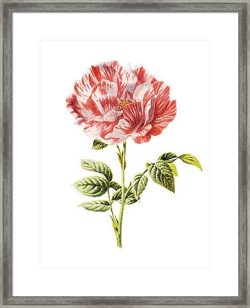York And Lancaster Rose Framed Print