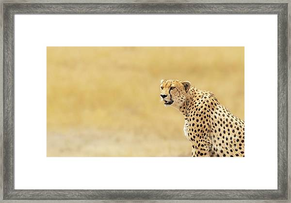 Young Adult Cheetah Banner Framed Print
