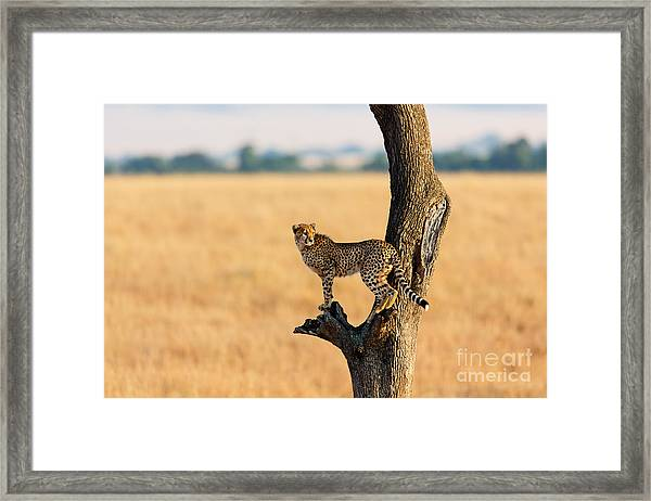 Young Cheetah In The Tree In Masai Framed Print