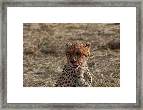 Young Cheetah Framed Print