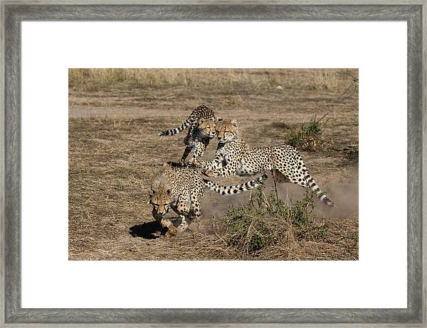 Young Cheetahs Framed Print