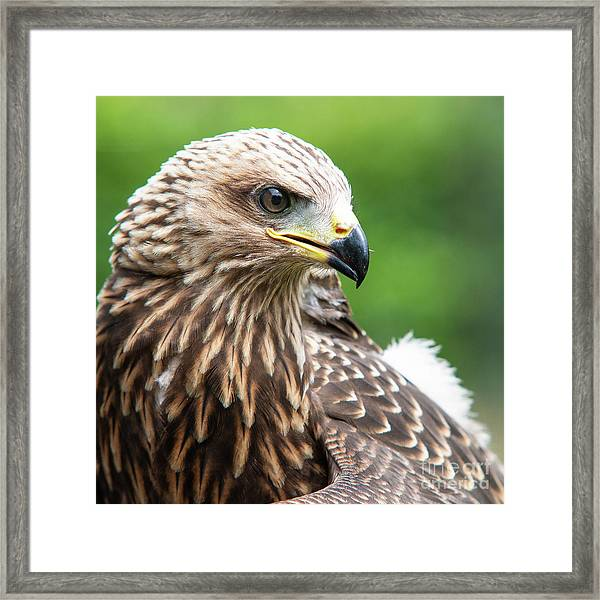 Young Kite Framed Print