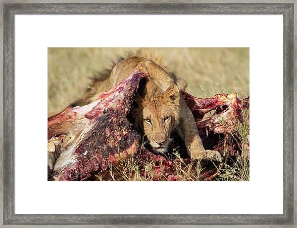 Young Lion On Cape Buffalo Kill Framed Print