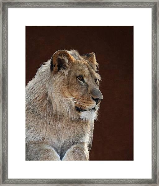 Young Male Lion Portrait Framed Print