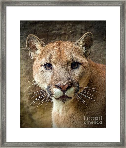 Young Puma Framed Print