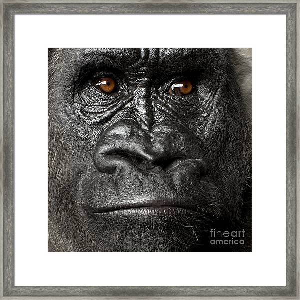 Young Silverback Gorilla In Front Of A Framed Print