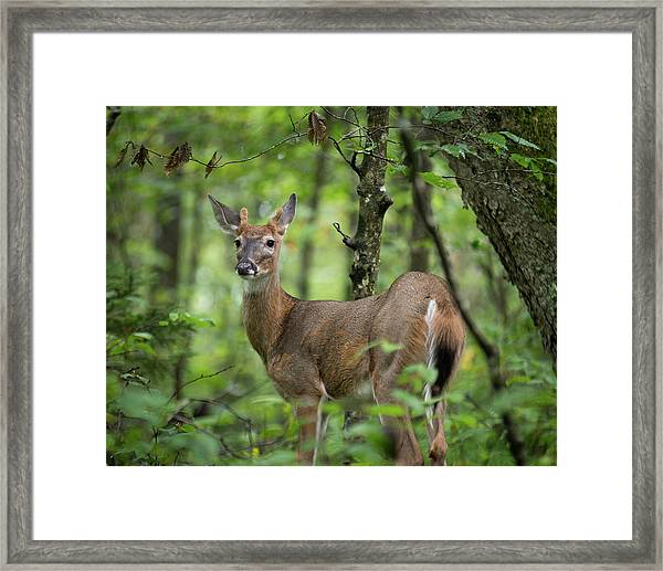 Framed Print featuring the photograph Young White-tailed Deer, Odocoileus Virginianus, With Velvet Antlers by William Dickman
