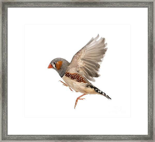 Zebra Finch Flying, Taeniopygia Framed Print
